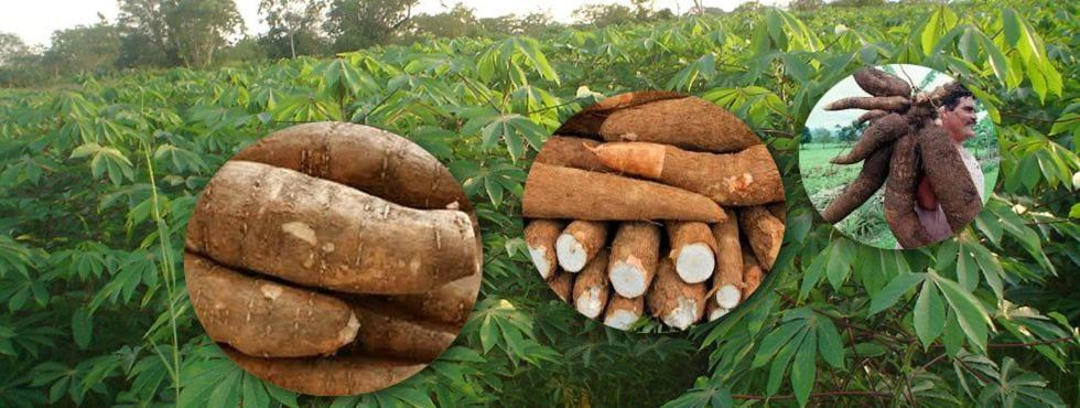 Costa Rica Yuca, Introduction, Types Of Yuca and its Plantation