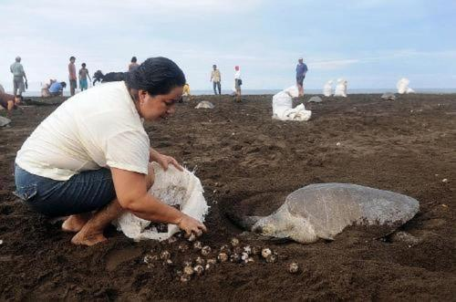 Costa Rica's Sea Turtle Population Threats - Blue River Resort