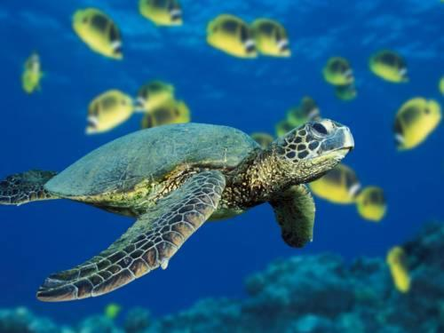 Sea Turtle Life Cycle, Behavior, Mating, Eggs and Hatchlings