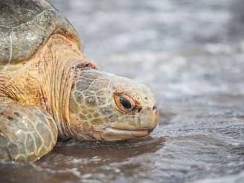 Sea Turtle Species in Costa Rica