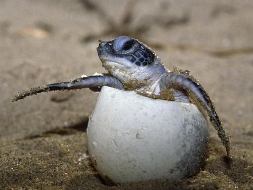 Costa Rica Sea Turtle Species & Peculiarities: Anatomy of a Sea Turtle