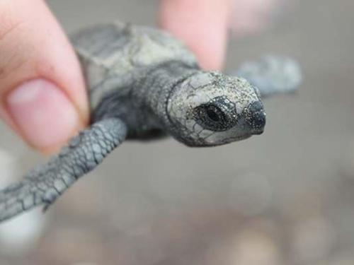 Save Sea Turtles in Costa Rica