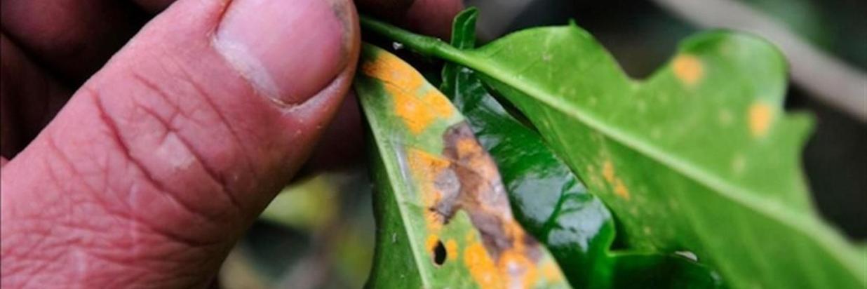 Arabica Coffee Threatened by Disease