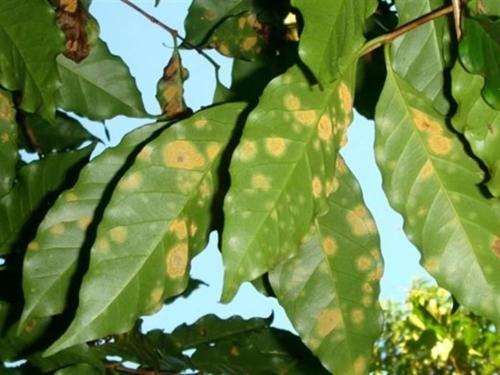 Arabica Coffee Threatened by Disease & The Steps Taken