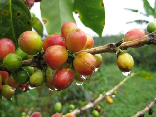 Help for the Ailing Coffee Industry, Starbucks & Other Major Players