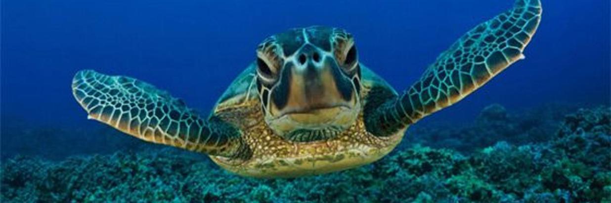 endangered costa rica turtles
