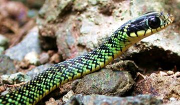 talamancan palm-pitviper snake, Rincon de la Vieja, Costa Rica