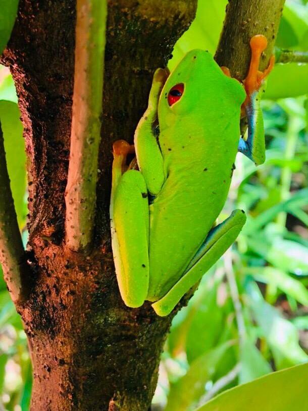 Red eyed treefrog Costa Rica